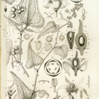 Histoire botanique et thérapeutique des salsepareilles