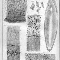 Étude sur le développement et la structure des dents humaines, accompagnée de deux planches gravées sur cuive