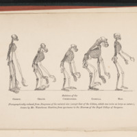 Illustration of the skeletons of primates in Evidence as to man's place in nature by Thomas Henry Huxley