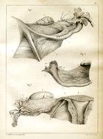Anatomie des trompes de l'utérus chez la femme