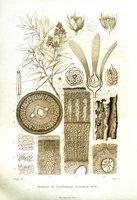 Étude sur le camphrier de Bornéo ou Dryobalanops Aromatica