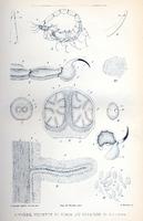 Appareil venimeux et venin du scorpion: étude anatomique, physiologique et pathologique
