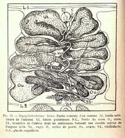 De l'histoire naturelle des cestodes en géneral et des principaux cestodes parasites de l'homme