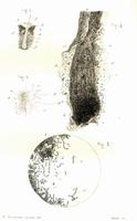 De l'achorion schoenleinii ou du champignon de la teigne faveuse